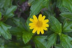 Beautiful yellow Compositae, Singapore daisy  flower. Stock Photos