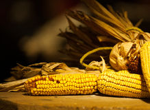 Beautiful yellow corn on husk for thanksgiving design Royalty Free Stock Photography