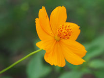 Beautiful yellow Cosmos flower Royalty Free Stock Photos
