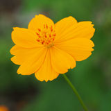 Beautiful yellow Cosmos flower Stock Image