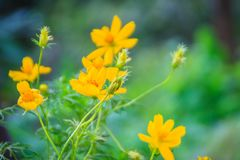 Beautiful of yellow cosmos flower in the green background. Cosmos is a genus, with the same common name of cosmos, consisting. Of flowering plants in the stock photography