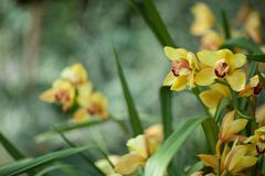 Beautiful yellow Cymbidium Orchids close up in a greenhouse Royalty Free Stock Photo