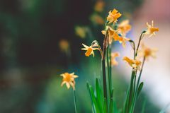Beautiful Yellow daffodil flowers in pot on the windowsill royalty free stock photos