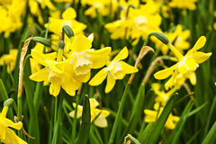 Free Beautiful Yellow Daffodils Stock Photos - 14417153