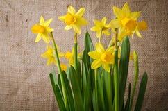 Beautiful yellow daffodils stock images