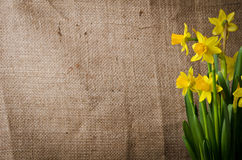 Beautiful yellow daffodils Stock Photo