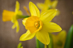 Beautiful yellow daffodils royalty free stock images