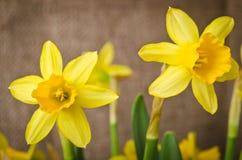 Beautiful yellow daffodils stock image