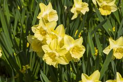 Beautiful yellow daffodils. On the flowerbed royalty free stock photos