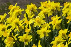 Beautiful yellow daffodils. On the flowerbed royalty free stock photography