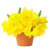 Beautiful Yellow Daffodils in flowerpot isolated on white Stock Photography