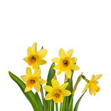 Beautiful Yellow Daffodils flowers isolated Stock Photo