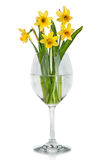 Beautiful Yellow Daffodils flowers in vase Stock Photos