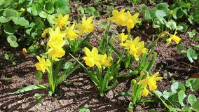 Beautiful yellow daffodils in the garden. In early spring stock video