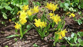 Beautiful yellow daffodils in the garden. In early spring stock footage