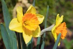 Beautiful yellow daffodils. Narcissus Royalty Free Stock Photo