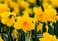 Beautiful yellow daffodils photographed in Cornwall royalty free stock photo