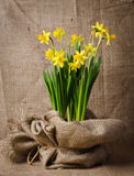 Beautiful yellow daffodils in pot Stock Photos