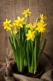 Beautiful yellow daffodils Royalty Free Stock Image