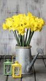 Beautiful yellow daffodils in silver watering can Stock Image