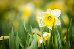 Beautiful yellow daffodils. In the spring royalty free stock photos