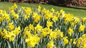 Beautiful yellow daffodils on a sunny day, footage. Beautiful yellow daffodils on a sunny Spring day, footage stock video