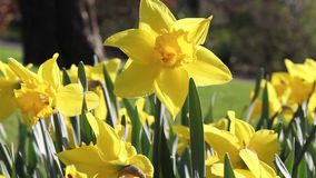 Beautiful yellow daffodils on a sunny day, footage. Beautiful yellow daffodils on a sunny Spring day, footage stock video footage