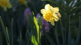 Beautiful yellow daffodils and tulips in the park. Abstract background - flowers on a flowerbed in a spring park stock footage