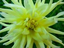 Beautiful yellow dahlia. In the garden Royalty Free Stock Photo