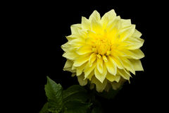 Beautiful Yellow Dahlia on Black Background Stock Photos