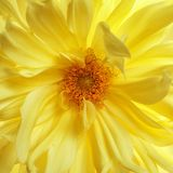 Beautiful yellow dahlia flower, closeup view. Floral decoration royalty free stock images
