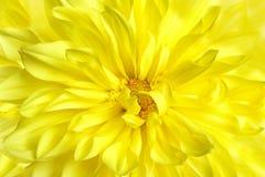 Beautiful yellow dahlia flower, closeup view. Floral decoration royalty free stock photos