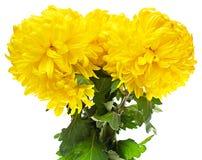 Beautiful Yellow Dahlia Flower Isolated Stock Photos
