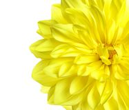 Beautiful yellow dahlia flower on white background. Closeup stock photos