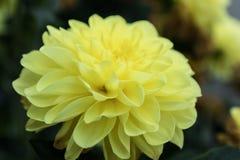 Free Beautiful Yellow Dahlia Gallery Serenade Flower In Summer Garden Stock Photo - 155748420