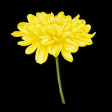 Beautiful yellow dahlia isolated on black background. Stock Image
