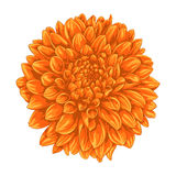 Beautiful yellow dahlia isolated on white background. Royalty Free Stock Image