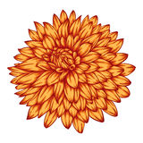 Beautiful yellow dahlia isolated on white background. Stock Images