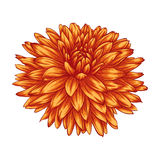 Beautiful yellow dahlia isolated on white background. Royalty Free Stock Photography