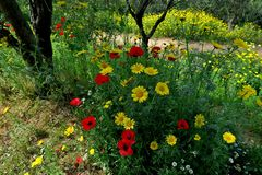 Beautiful yellow daisies and red poppies in the forest closeup royalty free stock images