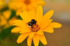 Beautiful yellow daisy with a bee. In the garden royalty free stock images