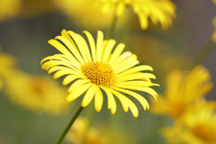 Beautiful yellow daisy Royalty Free Stock Photography