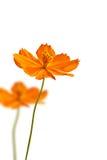 Beautiful yellow daisy flower Stock Photos