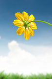 Beautiful yellow daisy flower Stock Images