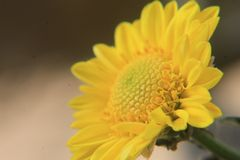 Beautiful yellow daisy flower close up,macro photography stock image