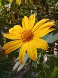 A beautiful yellow daisy flower in the garden stock photo