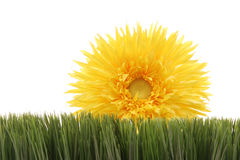 Beautiful yellow daisy on green grass isolated on white background Royalty Free Stock Photo