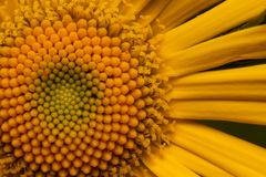 Beautiful yellow daisy is growing on a spring medow close up. Stock Photos