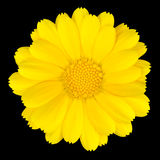 Beautiful Yellow Daisy Isolated on White. Background Stock Images