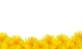 Beautiful Yellow Dandelion Flowers Card Background Royalty Free Stock Photo